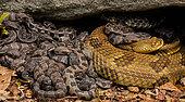 Crotale des bois (Crotalus horridus), femelles adultes et jeunes nouveau-nés, Pennsylvanie. Les crotales femelles gravides se rassemblent dans des maternités pour se prélasser et donner naissance à des jeunes. Elles restent avec les jeunes pendant plusieurs semaines et font preuve d'un certain degré de protection parentale. Ces groupes ont tendance à être un peu des femelles apparentées.