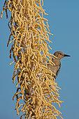 Gila woodpecker (Melanerpes uropygialis), on blooming sotol, Sonoran desert, Arizona