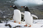 Two gentoo penguins (Pygoscelis papua) walking on the rocks at Marina Point on Galindez Island in the Argentine Islands, Antarctica.