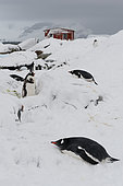 Gentoo penguin colony, Pygoscelis papua, at Petermann Island, Antarctica.