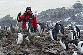 A nature guide chinstrap penguin colony, (Pygoscelis antarcticus), Half Moon Island, Antarctica.