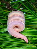 Polychaete Benthic Bristle Worm (Scoloplos armiger), San Luis Obispo County, California.