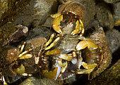 Greenmark Hermit Crabs (Pagurus caurinus) competing for a mate. Olympic Peninsula, Washington.