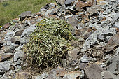 Hay Pile of American Pika (Ochotona princeps), Gold King Basin, Colorado. Pikas do not hibernate and so must gather plant material for winter consumption.