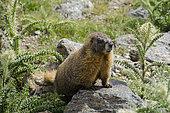 Yellow-bellied Marmot (Marmota flaviventer), Rocky Mountain National Park, Colorado.