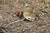 Pacific Jumping Mice, Zapus trinotatus, are found in damp habitats such as stream sides, wet meadows and alder thickets. They occur from northern California to a small portion of British Columbia. Adults are capable of jumping over 150 cm.