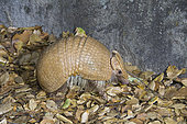 Southern Three-banded Armadillo (Tolypeutes matacus) is found in parts of South America from northern Argentina to Bolivia.