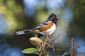 Spotted Towhee (Pipilo maculatus) is a large New World Sparrow.