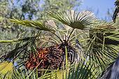 Palmier de méditerranée (Chamaerops humilis) tué par une attaque de Bombyx du palmier (Paysandisia archon)