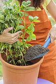 Woman raising a foot of potato grown in pot. By bringing back potting soil, the base of the stems will produce more tubers.