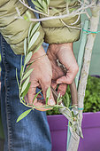 Woman pruning a potted olive rejection