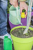 Woman bringing liquid fertilizer to an olive tree in pot