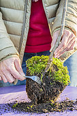 Surfacing a pot-grown subject in winter: remove the substrate with an old fork.