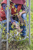 Woman pruning a pear tree in winter