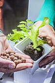 Indoor vegetable cultivation in hydroponics / aquaponics: preparation of a plant with clay balls in culture pot
