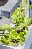 Vegetables grown in hydroponics indoors under artificial lighting