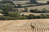 Brown hare (Lepus europaeus) standing amongst wheat stubbles, England