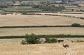 Brown hare (Lepus europaeus) runing amongst wheat stubbles, England