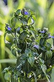 Mushroom Plant (Rungia klossii) mushroom-flavored condiment plant