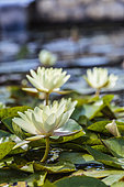 Rustic water lily 'Chromatella', old variety