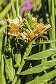 Ginger Lily (Hedychium sp) 'Docteur Moy' flowers