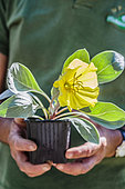 Hands holding a flowering plant of Oenothera (Oenothera macrocarpa incana) 'Silver Blade'.