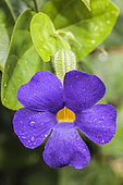 Blue glory vine (Thunbergia battiscombei)