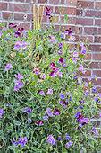 Sweet pea (Lathyrus odoratus grandiflora) 'Cupani'