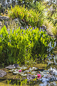 Garden pond with Thalias (Thalia sp) and Water lilies (Nymphaea sp)