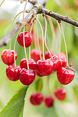 Xapata' (or 'Chapata') cherries, from the Basque country: long stalk, light red color, grouped fruits.