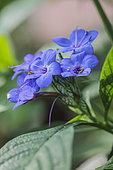 Blue Sage (Eranthemum pulchellum)