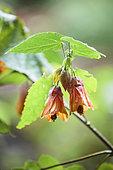 Abutilon 'Orange King', arbuste aux petites fleurs colorées