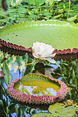 Giant water lily (Victoria regia) in bloom in green house