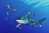 Oceanic whitetip shark (Carcharhinus longimanus) with Pilot Fish (Naucrates ductor), Red Sea, Egypt, Africa