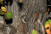 Lesser Bushbaby (Galago moholi) in a tree, Kruger National Park, South Africa