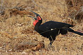 Southern Ground-Hornbill (Bucorvus leadbeateri) catching a scorpion, Kruger National Park. South Africa