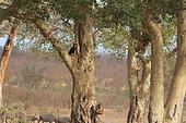 Southern Ground-Hornbill (Bucorvus leadbeateri) seeking a nest in a hollow tree, Kruger National Park. South Africa