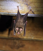 Sundevall's Leaf-nosed Bat (Hipposideros caffer), Kruger National Park, South Africa