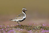 Eurasian Golden Plover (Pluvialis apricaria). An adult male on a small mount on the flowering tundra. Taken in Sweden in June.