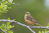 Ortolan Bunting (Emberiza hortulana). A adult bird singing from a branch. Taken in Sweden in June.