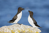 Razorbill (Alca torda). A pair interacting on top of a rock. Taken in Sweden in June.
