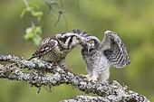 Northern hawk-owl (Surnia ulula), Jämtland, Sweden. An adult bird feeding a month old chick in June 2018