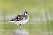 Red-necked Phalarope (Phalaropus lobatus). An adult female resting on a rock in the water. Photographed in Stockholm Sweden in May on the birds way to their breeding grounds in the arctic.