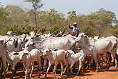 Riders leading cattle, Pantanal, Mato Grosso, Brazil.