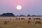 Eléphant d'Afrique (Loxodonta africana) et des plaines (Equus quagga) au coucher du soleil, parc national de Chobe, Botswana.