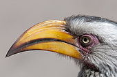 Southern yellow-billed hornbill (Tockus leucomelas), Savuti, Chobe National Park, Botswana