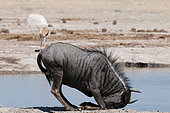 Blue wildebeest (Connochaetes taurinus), Nxai Pan National Park, Botswana.