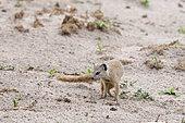 Slender mongoose (Galerella sanguinea), Savuti Marsh area, Chobe National Park, Botswana.