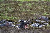 Hippopotamus (Hippopotamus amphibius), Khwai concession, Okavango delta, Botswana.