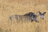 Two Warthogs (Phacochoerus africanus) in the grass, Nxai Pan, Botswana